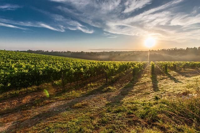 toskánská vinice.jpg