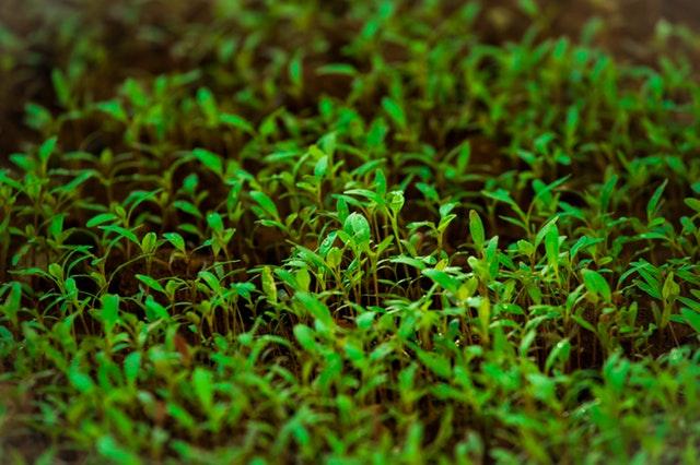 mladé zelené semenáčky